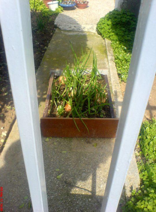 Κρεμμύδια φυτεμένα μέσα σε ένα παλιό συρτάρι!