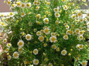 Προσέξτε τα ζιζάνια που φυτρώνουν στις γλάστρες, μπορεί να είναι και χρήσιμα!