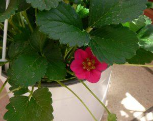Φράουλες, η χαρά των παιδιών!